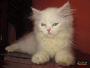 Persian cattery colombo5.jpg