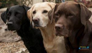 Veesha Kennels Labradors3.jpg